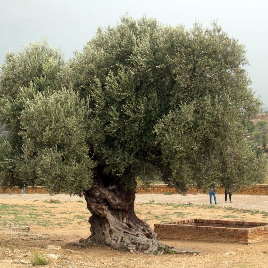 Planter un olivier La Baule Guérande Pornichet
