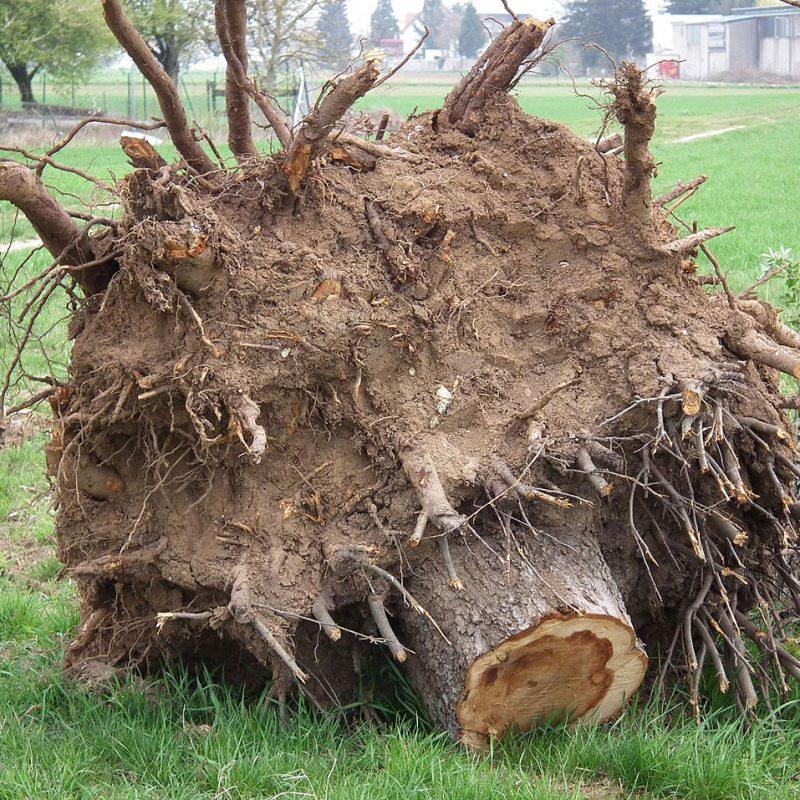 Dessouchage arbre La Baule Guérande Pornichet Saint Nazaire