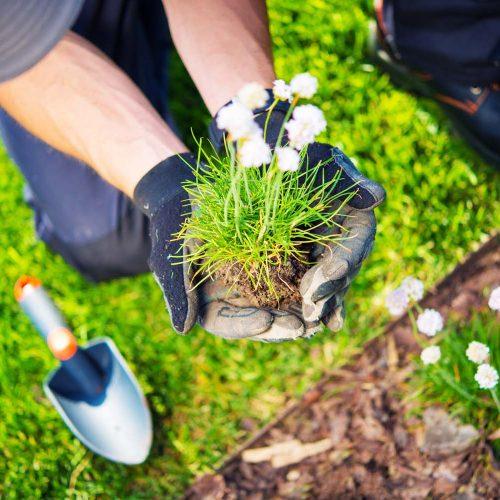 Gardener Replanting Small Flowers. Closeup Photo. Spring Replanting in a Garden.